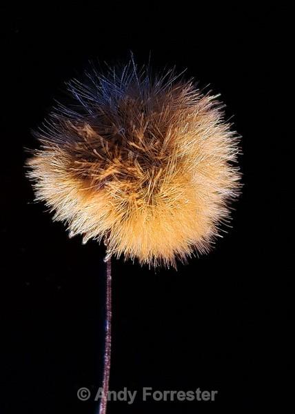 Ligularia Seedhead - Low Light Flowers