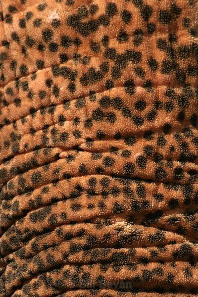 Trunk Texture - Elephant