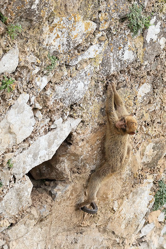 Young Barbary Macaque climbing wall, Rock of Gibraltar - Monkey