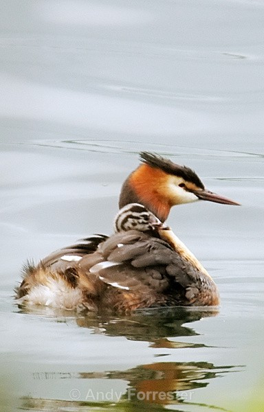Profile - Great Crested Grebes
