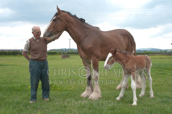 ryecroft-3 - Clydesdales 2013 Include Foals