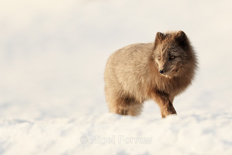 Dark Arctic Fox walking, Svalbard, Norway - Arctic Fox