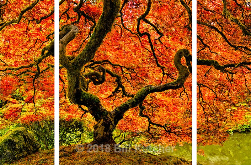 Portland Japanese Maple Triptych - Current Show