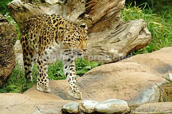 Amur leopard - Milena (Colchester Zoo) - Amur Leopards