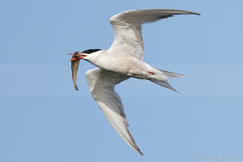 Common Tern (Sterna hirundo) with prey - ARPS Panel