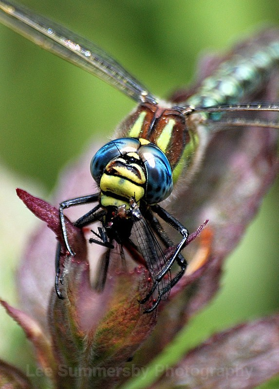 Hairy Dragonfly - Dragons and Damsels