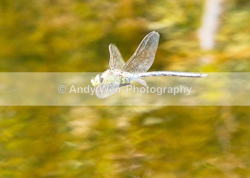 20160704-3K8A5730 - Dragonflies & Damselflies