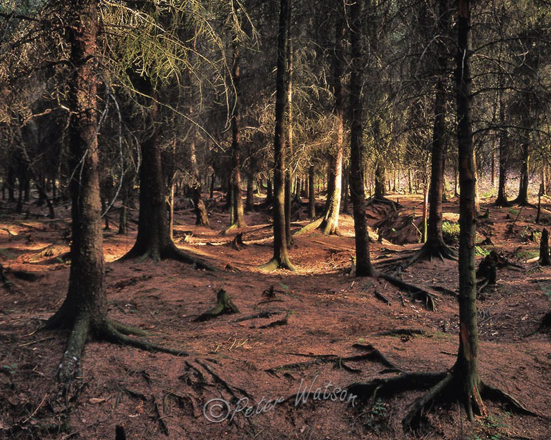 Delamere Forest Cheshire England - Forest & Woodland