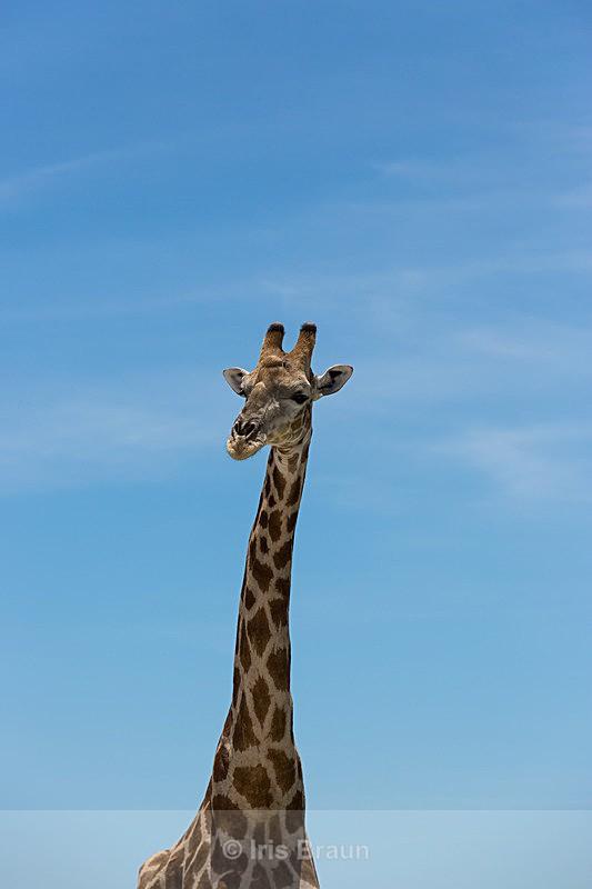 Kalahari Giant - Giraffe