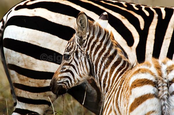 Zebra Nairobi National Park, Kenya