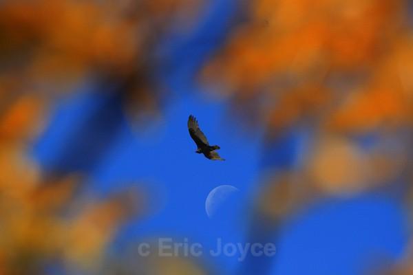 Free Bird - SW Minnesota