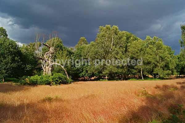 Open Forest - Sherwood Forest (Nottinghamshire) - England
