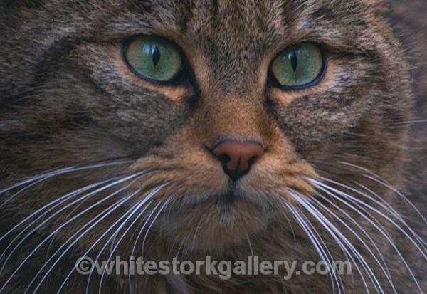 European Wildcat - Wildlife and Animals