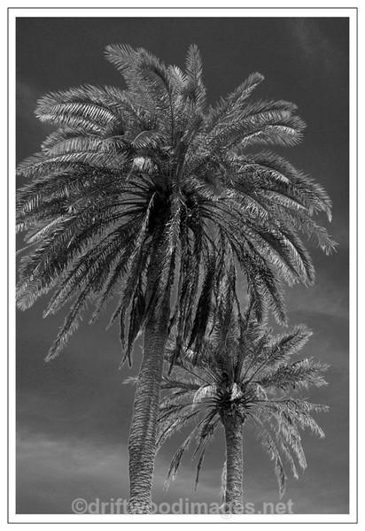 Two Palms - Black & White