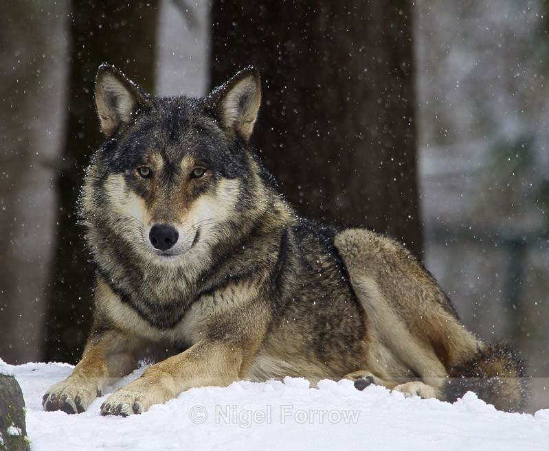 Wolf in the snow - Wolf