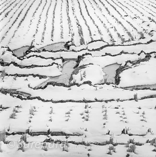 Winter Rice 1 - Rice Fields in Winter
