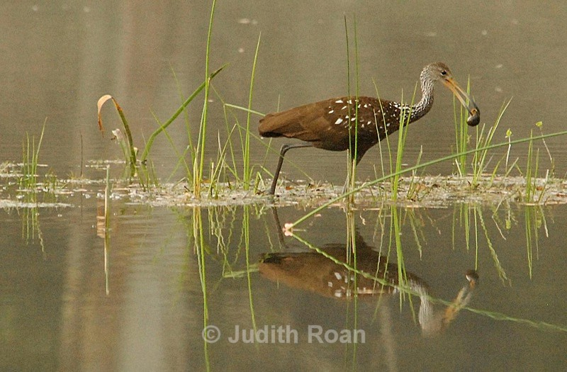 Limpkin - Birds from Belize and Guatemala