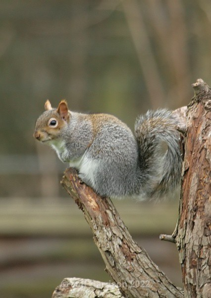 Grey Squirrel (image GS 01) - Mammals
