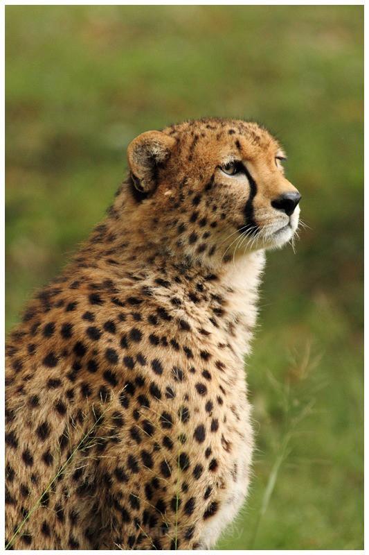 Cheetah Portrait - Kenyan Safari 2013