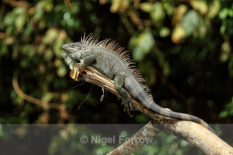Green Iguana on overhanging branch above river, Costa Rica - REPTILES & AMPHIBIANS
