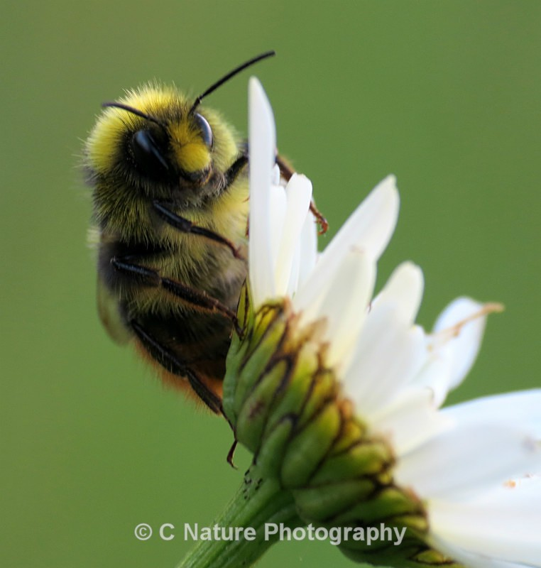 Red-tailed Bumble Bee - Insects & Creepy Crawlies
