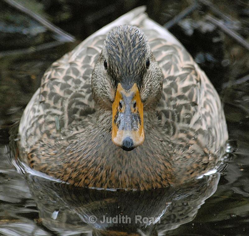 Mallard female - Backyard Birds of the Pacific Northwest