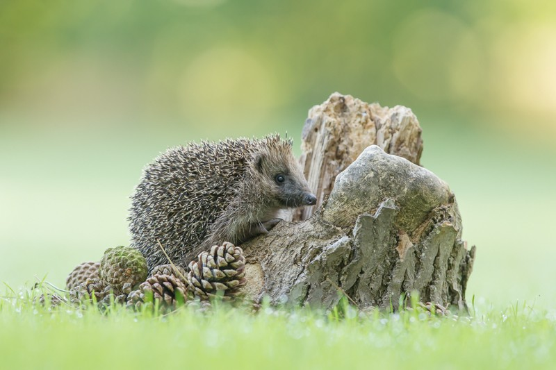 HHD - Hedgehogs