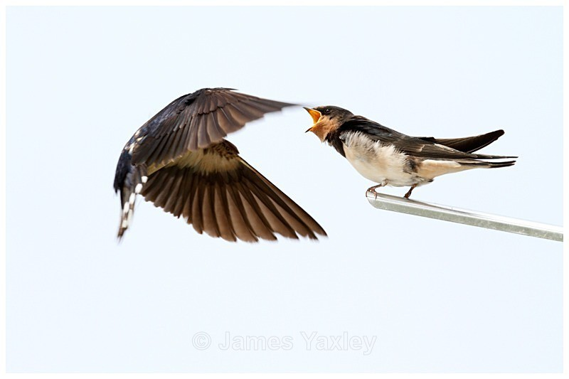 About to Swallow - The British Wildlife Photography Awards 2009 to 2014