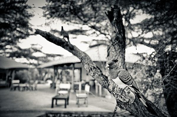 White-Bellied Go-Away-Bird, Shaba, Kenya