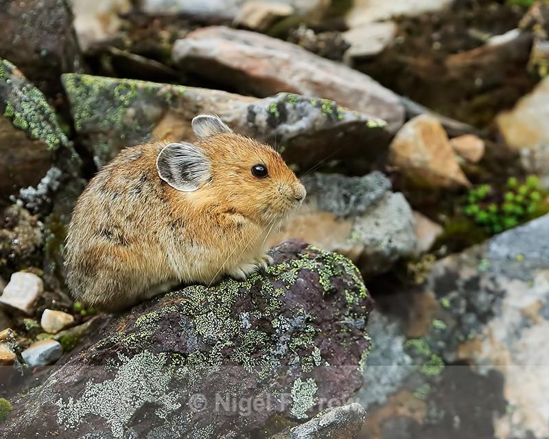 American Pika resting amongst rocks, Moraine Lake, Canada - Pika