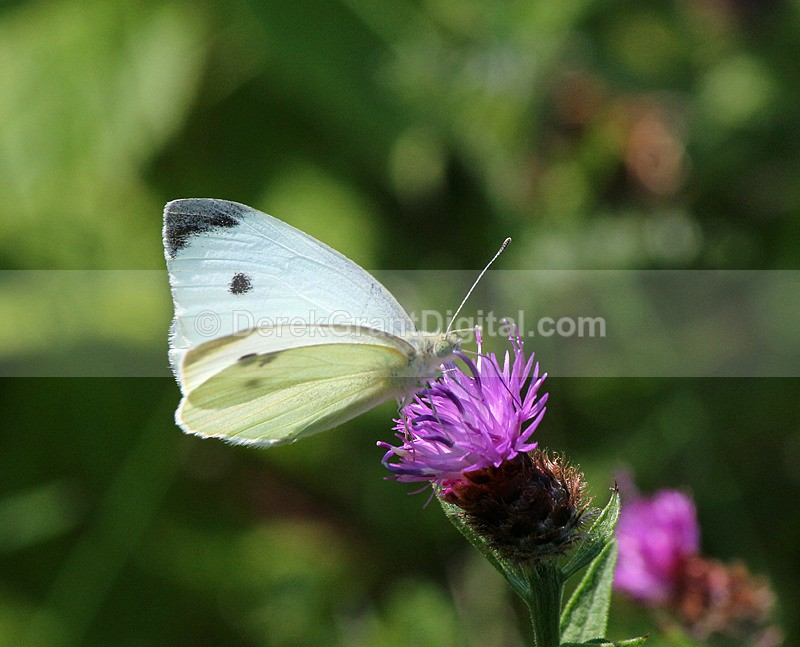 Cabbage White - Butterflies & Moths of Atlantic Canada