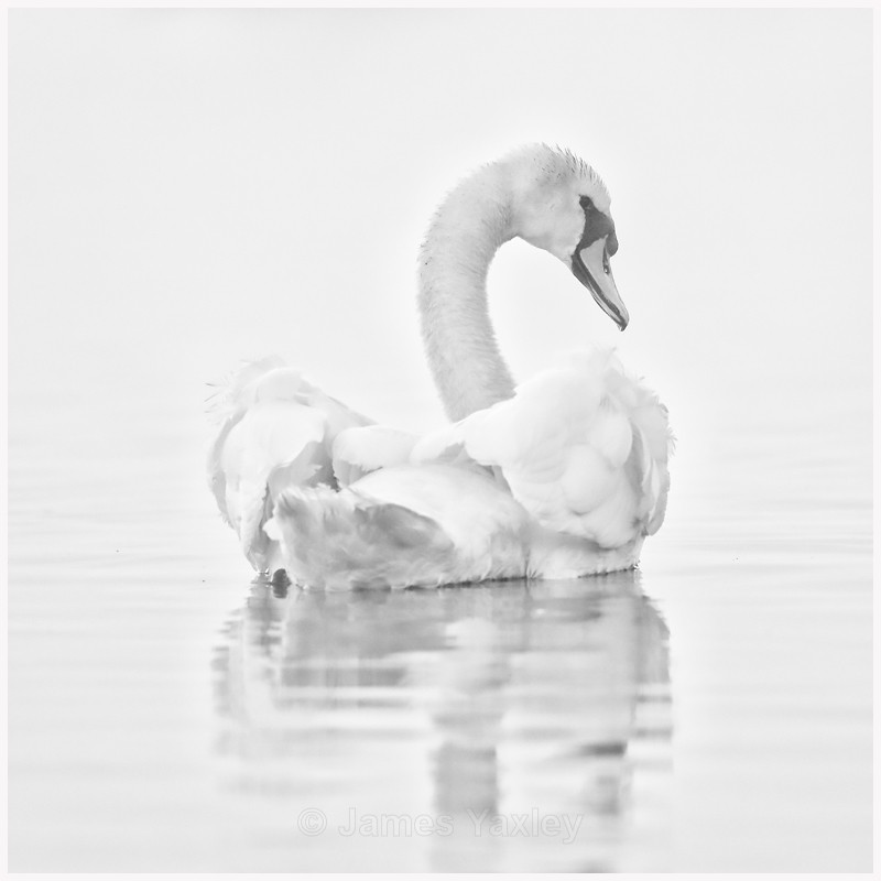Mute Swan in the Mist  - Latest Work