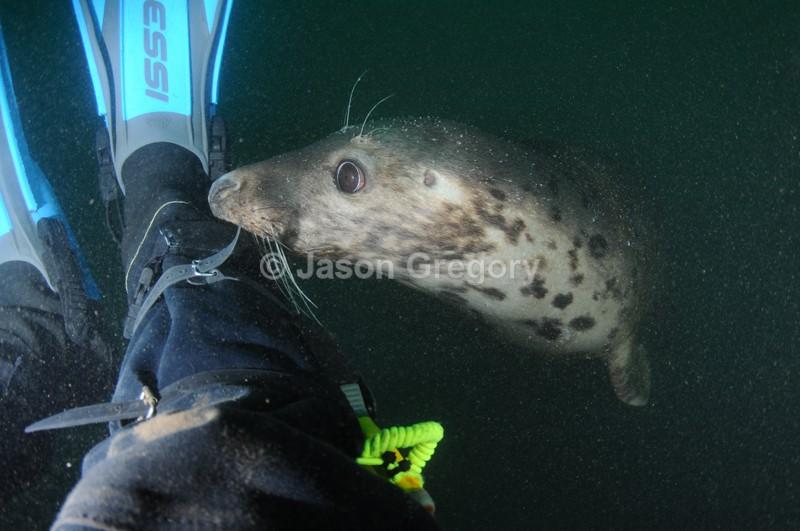 Grey Seal - Halichoerus grypus - Grey Seals