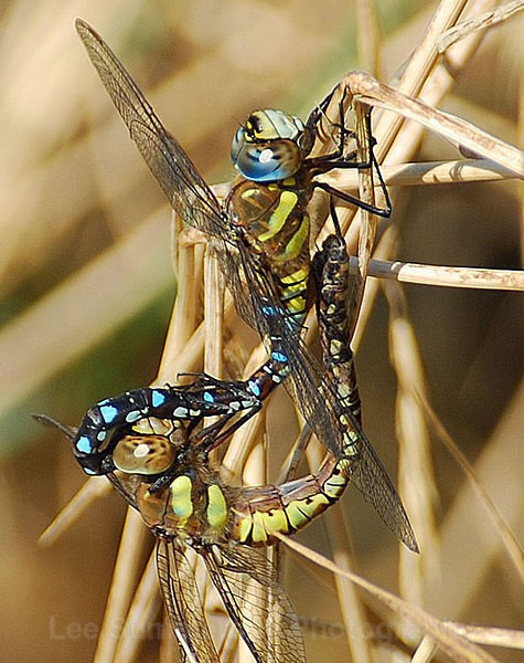 Mating Migrant Hawkers, River Exe, Topsham, Devon - Dragons and Damsels