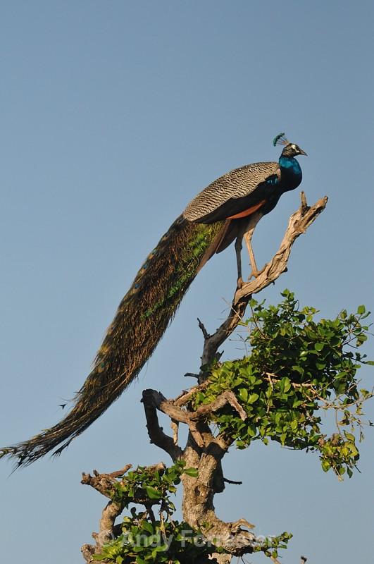 Peacock II - Yala Sri Lanka
