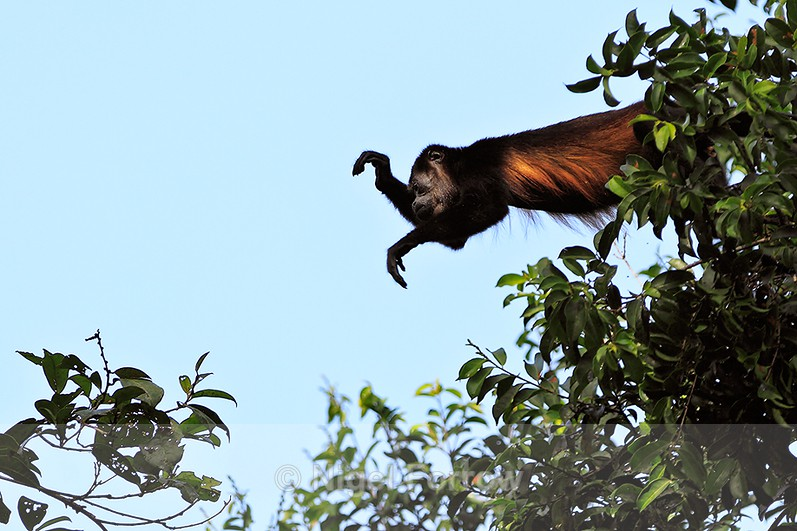 Mantled Howler Monkey reaching out to cross a gap in the trees - Monkey