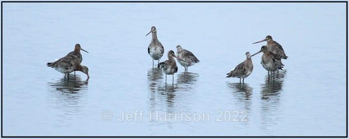 Black-tailed Godwits (image B-tG 01) - Latest additions
