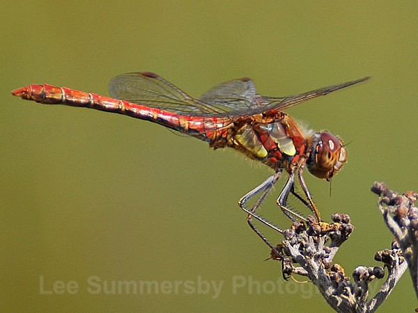 Common Darter, Dawlish Warren NNR - Dragons and Damsels