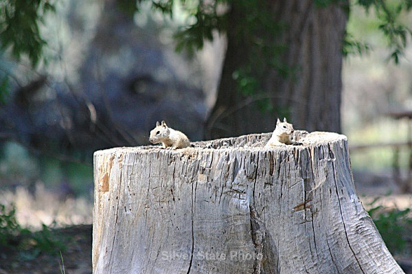 'Peek-a-Boo' Chipmunks - 'Wildlife' (Big & Small)