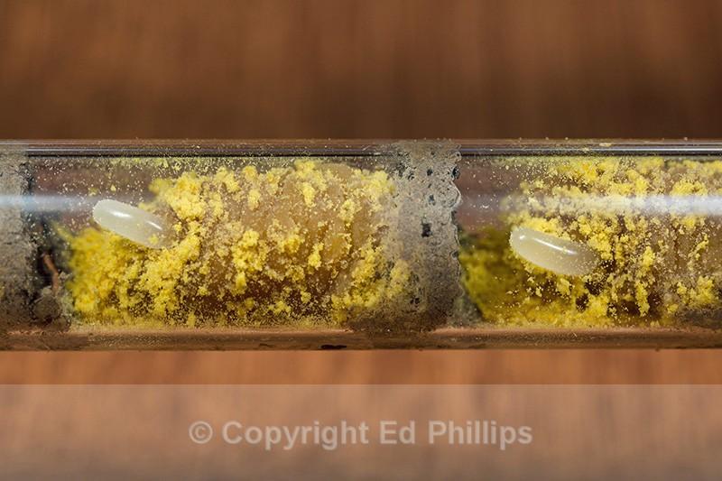 Osmia bicornis (brood cell) - Osmia bicornis (rufa)