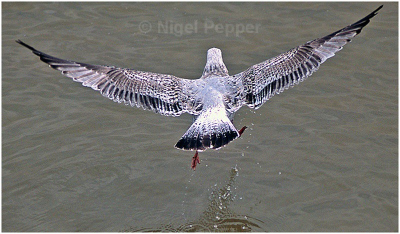 Taking Off (2) - Leggy the Herring Gull