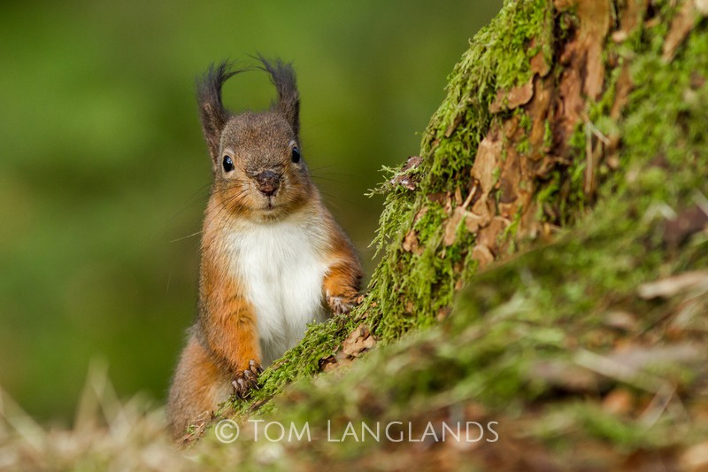 Red Squirrel - Red Squirrels