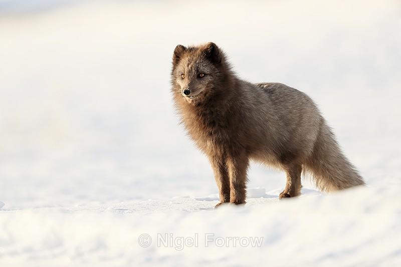 Dark Arctic Fox standing, Svalbard, Norway - Arctic Fox