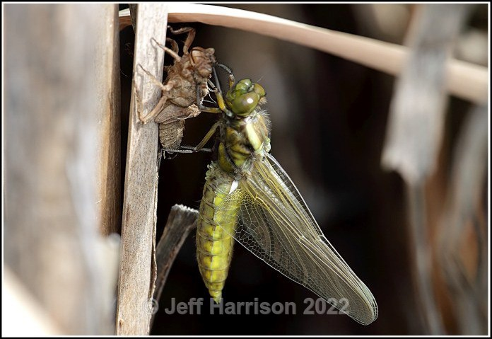 Dragonfly emerging from nymph casing (image Drag 002) - Latest additions