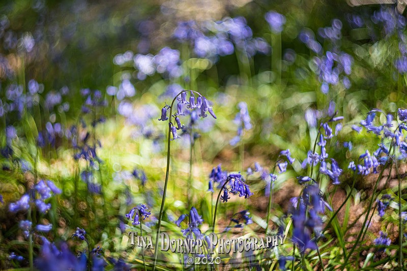 Spinning Bells - Spring & Summer in The Forest of Dean & Wye Valley and BLUEBELLS!