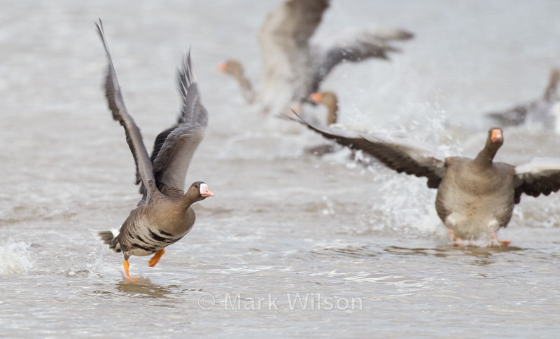 White-fronted Goose - Swans, Geese & Ducks