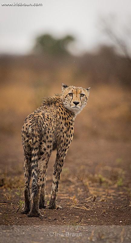 Looking back - Cheetah