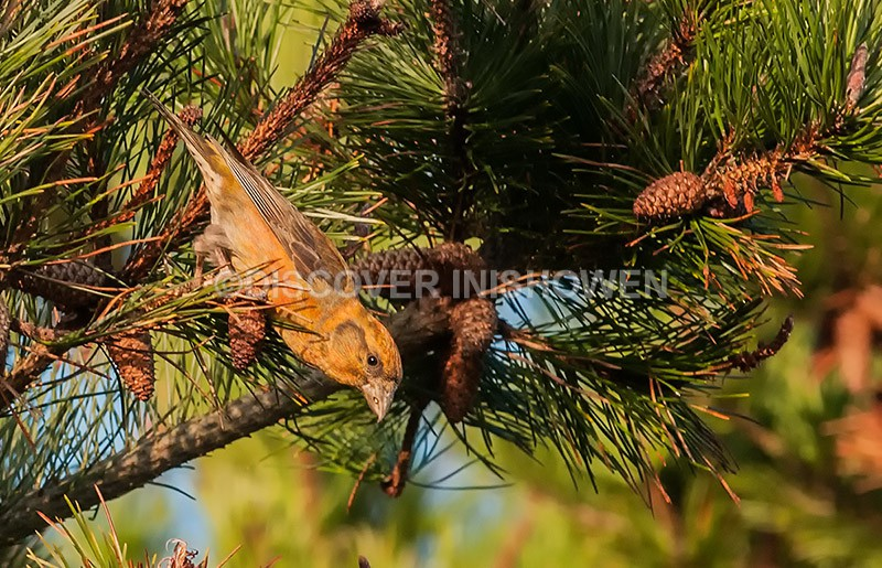 Crossbill - Wildlife