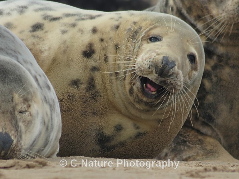 Seal With A Smile - Animals