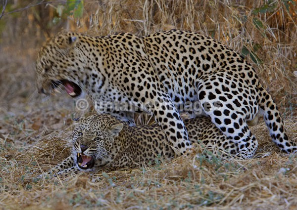 Mating Leopards - Botswana